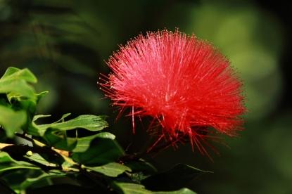 'Ohi'a Lehua Flower