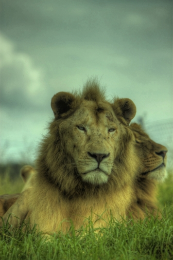 Regal Lions HDR