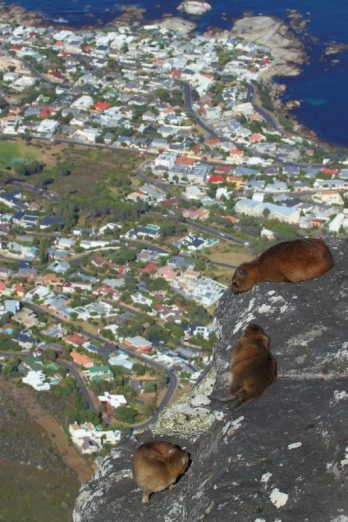 Rock hyrax 1km above Cape Town