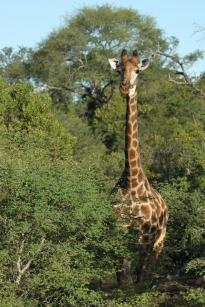 Giraffe full shot