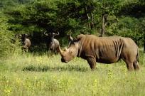 Rhino with wildebeest