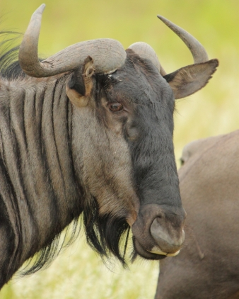 Wildebeest profile
