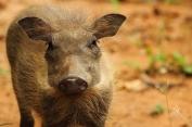 Young Warthog Closeup