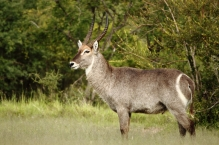 Waterbuck showing his good side