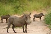 Trio of Warthogs