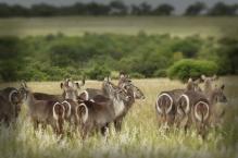 Waterbuck herd
