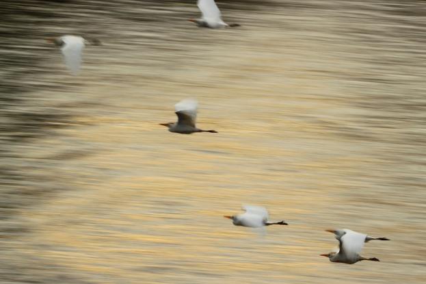Birds in flight over the Zambezi river