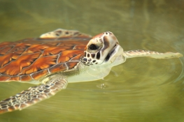 Young sea turtle