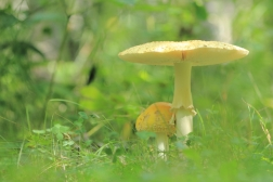 Mushrooms in clover