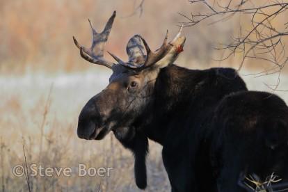 Bull moose closeup