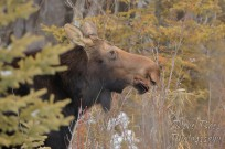 Profile of moose eating in the trees