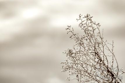 Snowy bush under a cloudy sky