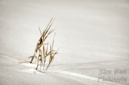 Dead grass in snowy field isolated