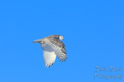 Snowy owl in flight wings down