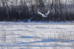 Snowy owl flying through field