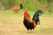Colorful wild rooster and hen in Waimea, Kauai