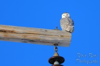 Snowy owl on power pole