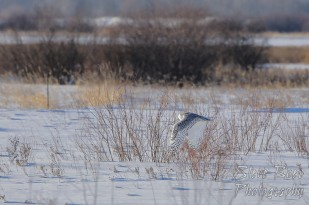 Snowy owl low flight