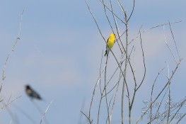 American goldfinch with red winged blackbird