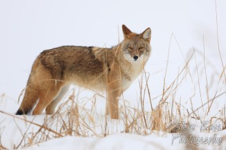 Coyote standing on snowy frozen river bank
