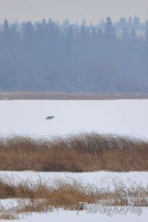 Coyote crossing frozen lake