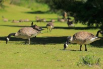 Group of Canada geese eating grass