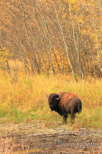 Bison in autumn portrait mode
