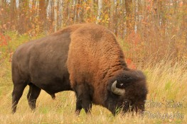 Bison grazing in autumn