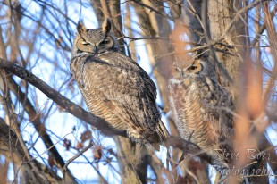 Great Horned Owl pair